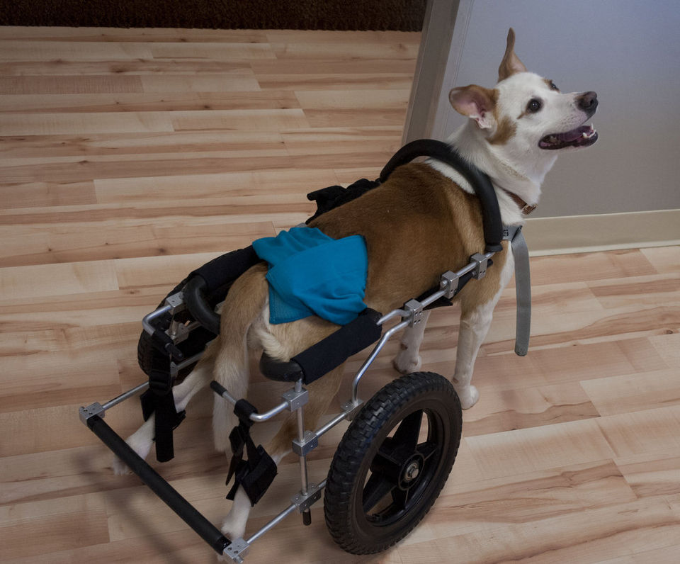 Wheelchair Equipped Dog Is Candidate For Stem Cell Therapy
