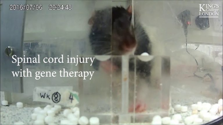 Gene therapy restores hand function after spinal cord injury in rats