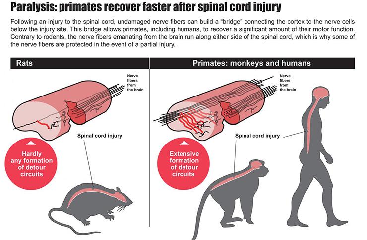 Rat spinal cord anatomy