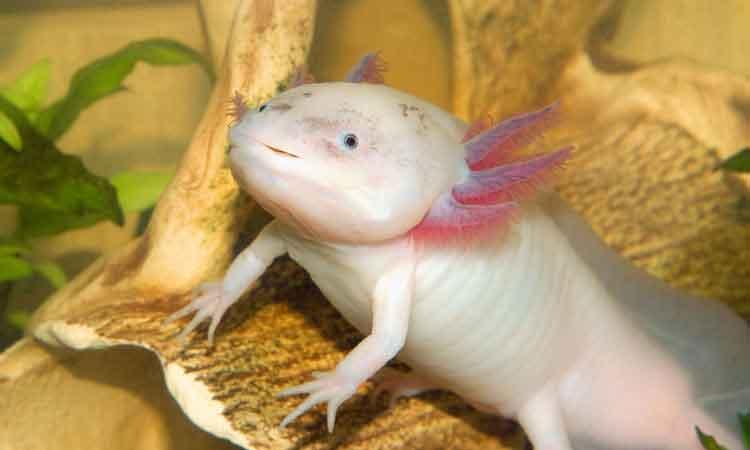 Salamander gene partnerships could help spinal cord regeneration